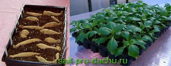 Выращивание рассады георгинов