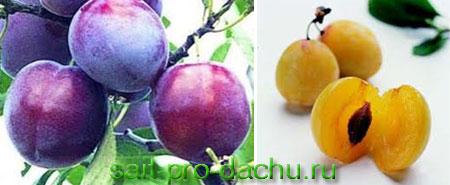 Особенности выращивания сливы и алычи