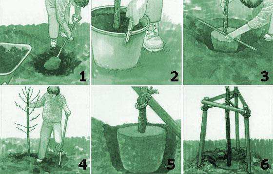 Саженцы в контейнерах как посадить