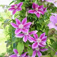 Вьющиеся растения для дачи клемантис