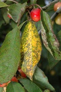 Вредители и болезни вишни
