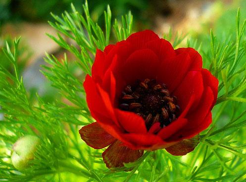 История цветка адонис