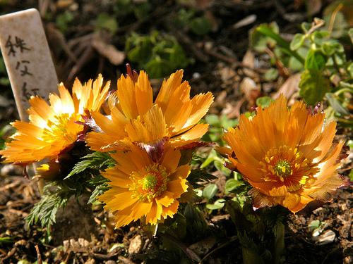 цветок адонис фото:
