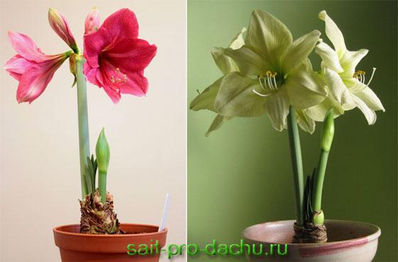 амариллис фото цветок