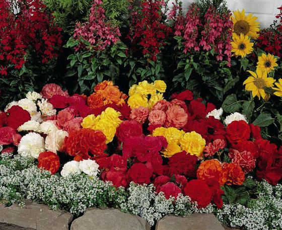 Цветы в доме и в саду: клубневая бегония.