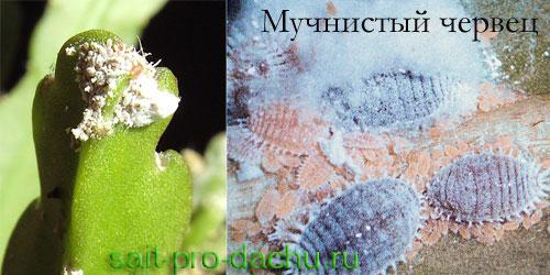 Вредители и инфекционные болезни кактусов