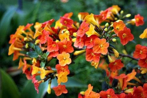 Бровалия цветов