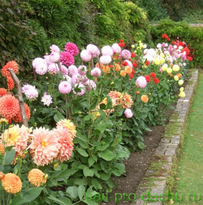 Георгины сад одного цветка