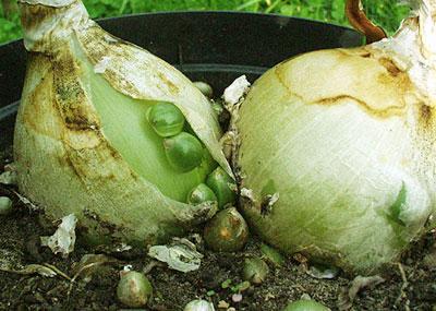 Как вырастить индийский лук