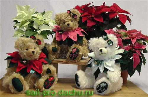 http://sait-pro-dachu.ru/wp-content/uploads/2011/07/pointsettia3.jpg