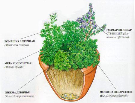 Как вырастить лекарственные растения дома.