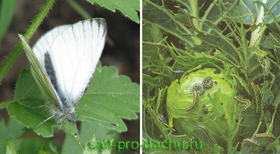 Бабочка белянка – выявление и борьба с вредителем