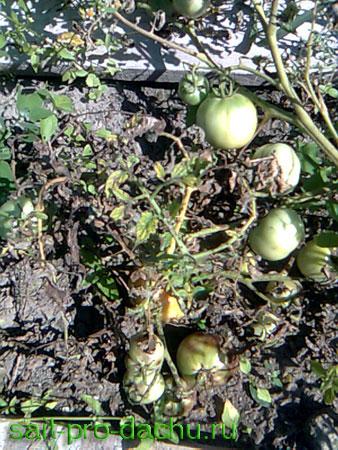 Чем болеют помидоры?