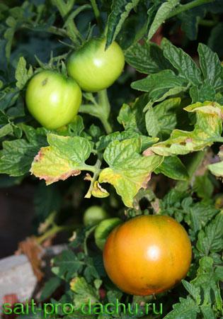 Почему желтеют помидоры