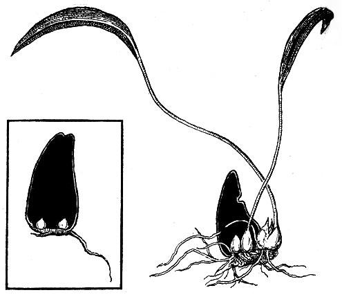 Размножение лилий чешуями луковиц