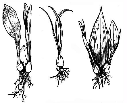 Размножение лилий листьями