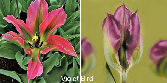 Зеленоцветковые тюльпаны