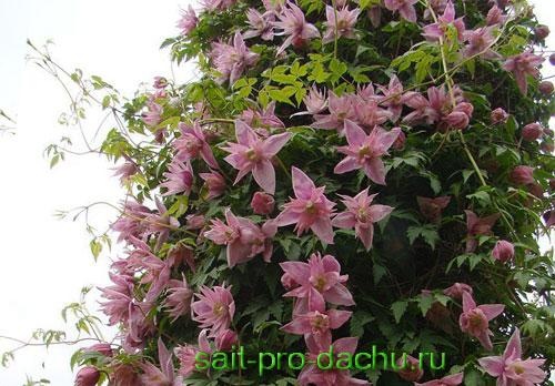 Клематис роскошные цветущие лианы