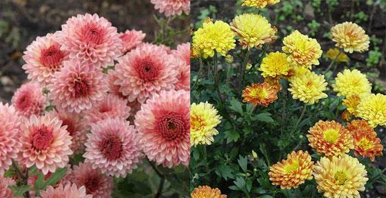 хризантемы сорта с фото