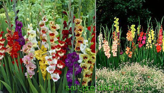 Сад одного цветка - гладулярий