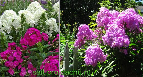 Сад одного цветка - флоксарий