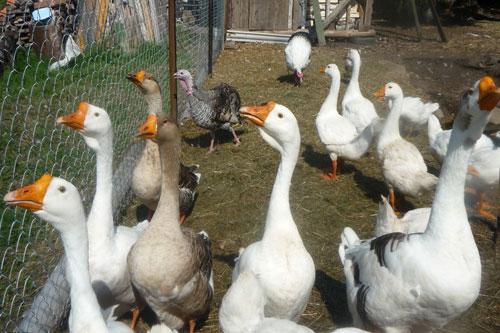 Выращивание гусей в частном хозяйстве