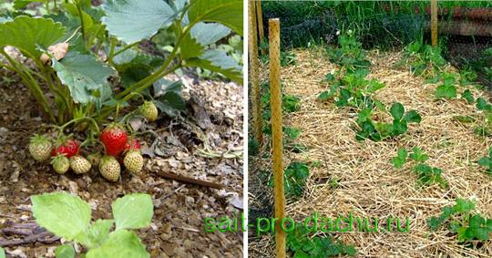 Полив садовой земляники
