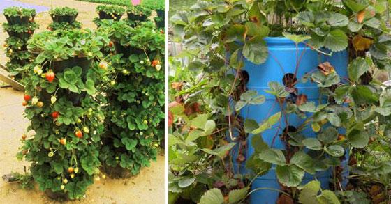 Вертикальное выращивание садовой земляники