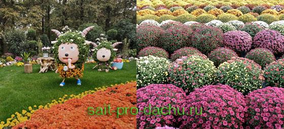 хризантемы в дизайне сада