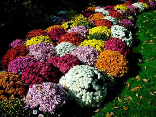 xrisantema-34