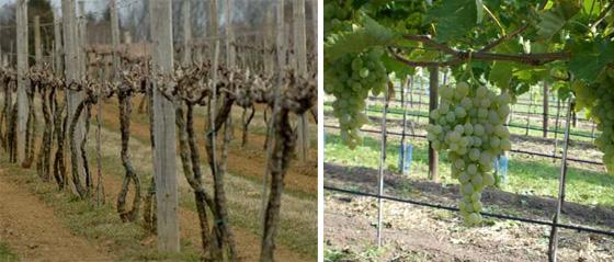 Шпалера для винограда сделать своими