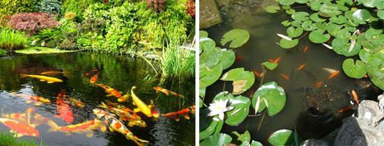 Рыбы в садовых водоемах