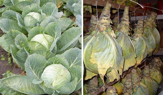 Как сохранить зимой капусту свежей