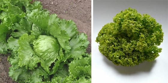 Салат-латук: выращивание и уход