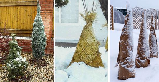 Хвойные растения в саду: зимние мероприятия