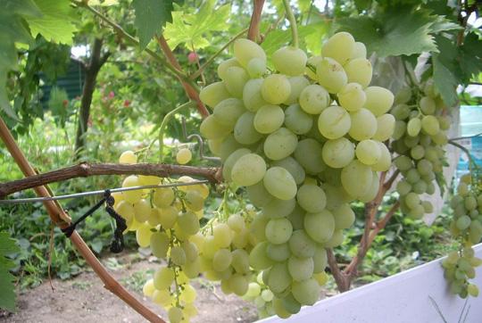 Прививка винограда