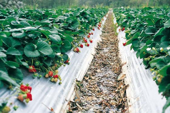 Способы выращивания садовой земляники