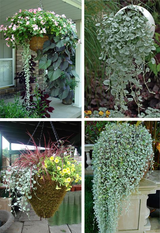 Дихондра: ампельное растение