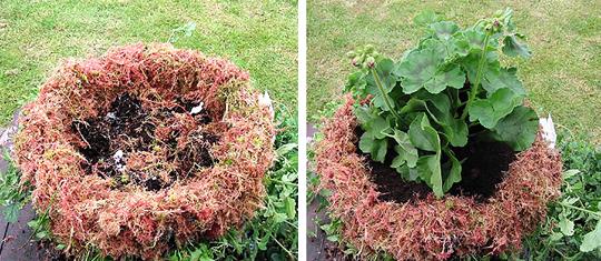 Ампельные растения в подвесной корзине
