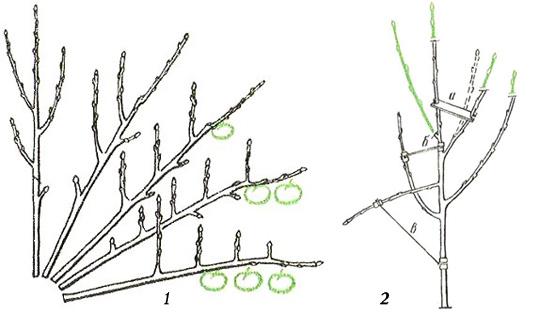 Как ускорить плодоношение: метод пригибания ветвей