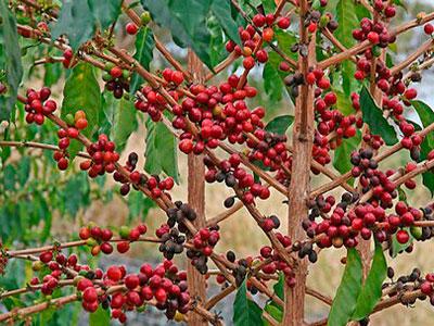 как вырастить дома кофейное дерево