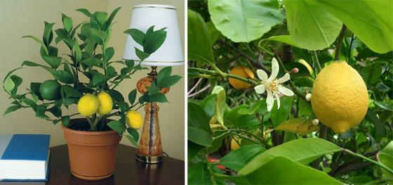 Как дома вырастить лимон из косточки