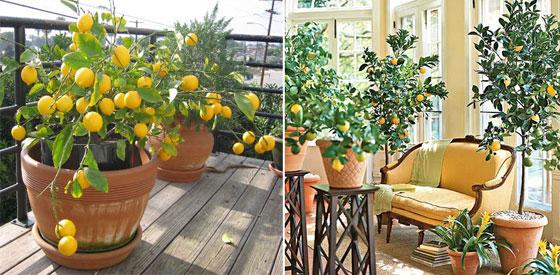 Уход за лимоном дома