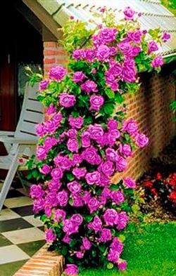 уход за плетистой розой
