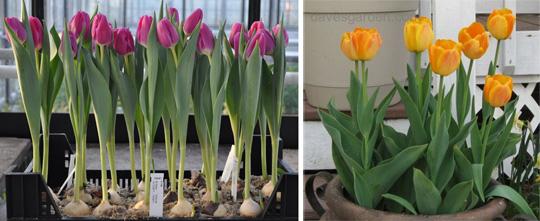 зимняя выгонка тюльпанов