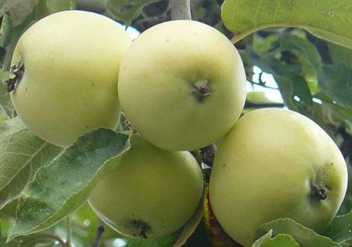 самый ранний сорт яблонь белый налив