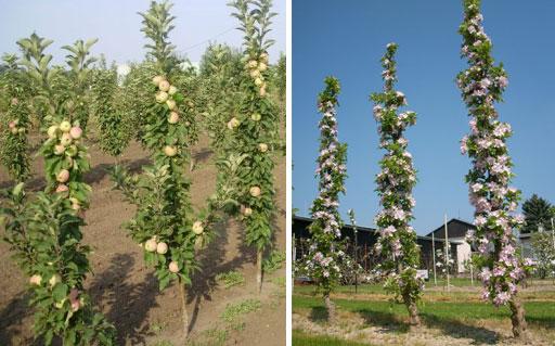 колоновидная яблоня уход