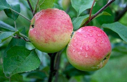 мантет ранний сорт яблок
