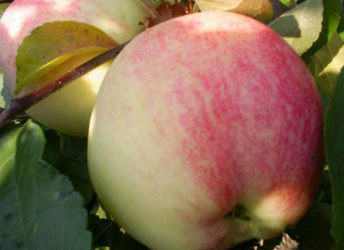 мелба ранняя яблоня