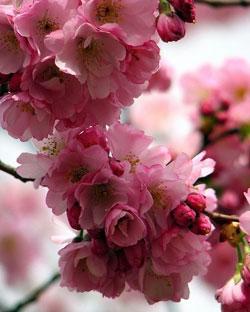 Уход за вишней весной